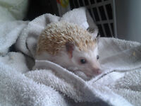 Super Friendly Male Hedgehog Looking For New Home