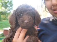 Standard Poodle Puppies from Sportsman Standard Poodles