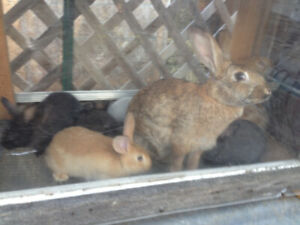 Rabbits for Sale. Newzealand meat rabbits /babbies for sale.
