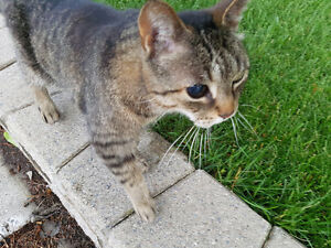 Found Grey Tabby in the Glebe - Patterson & Bank
