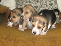 Beagle Puppies,Tri-coloured and Lemon