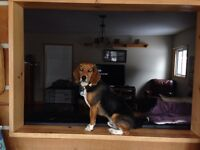 Fun loving Beagle to good home