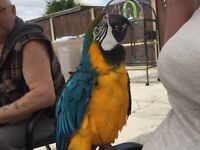 Gold and blue macaw