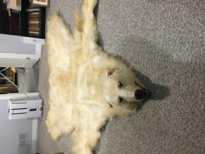 Polar Bear Skin, Very Rare Real.