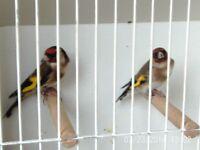 Beautiful NL close rung goldfinches !