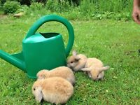 Holland Lop Bunnies For Sale