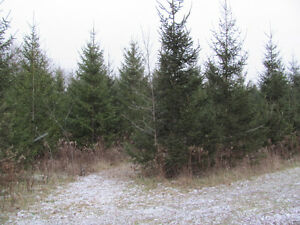 Christmas Trees, Cut-Your-Own, all sizes