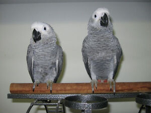 Hand raised super friendly adorable AFRICAN GREY BABIES
