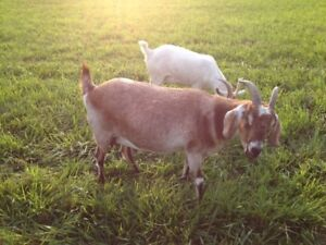 2 MILK GOATS FOR SALE $150 ( and a wether $100) OBO