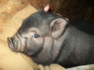 Cute baby pot belly pigs 5 girls and 2 boys Kitchener / Waterloo Kitchener Area image 6