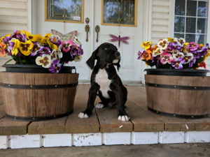 Gorgeous Boxerdoodle puppies for sale