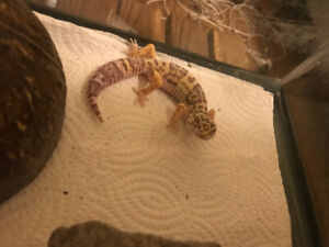 Bell Albino Obo lizard 10 months old for sale very interactive