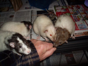 Critter Nation cage with five male 10 month old rats