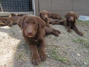 Beautiful Chocolate Lab/Border Collie pups