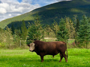 Hereford cross angus bull for sale