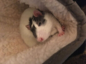 4 friendly male rats, cage and acessories