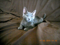 American Bombay and Russian Blue mix kittens