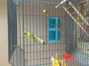 Free Yellow Budgie to good home
