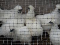 White UNBEARDED Silkie Bantams
