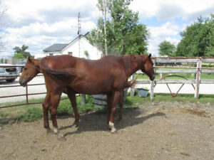 REGISTERED  OTTB MARE FOR SALE