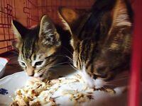 9 week old kittens ❤️ kitten love rescue