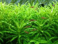 Downoi 'Little Star', Pogostemon Helferi - Aquarium Stem Plants