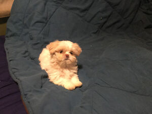 Chinese Imperial Shih Tzu Puppies