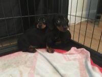 Miniture daschund pups PRA clear