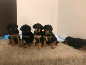 Rottweiler/tibetan mastiff mixed puppies