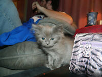1 Himalayan kitten left for sale
