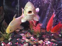Beautiful White 14inch koi fish