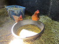 Wanted Hens Chickens for Winter Eggs