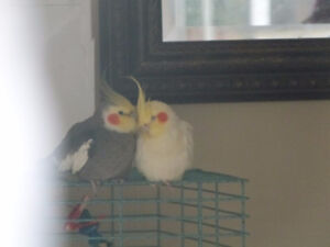 couple de cockatiel