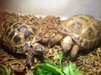 2 Horsefield Russian Tortoises with set up