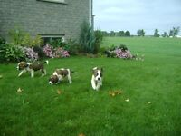 Saint Bernard purebred puppies for sale