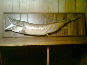 free stuffed(taxidermed) fish