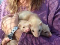 Ferrets for sale, very tame, 8 weeks old