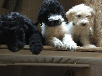 F1b Parti Goldendoodle pups. Medium size Shed/allergy friendly.