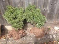Two small evergreen shrubs