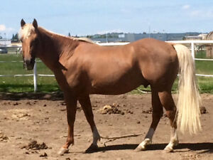 AQHA 2000 LEO stallion standing at STUD