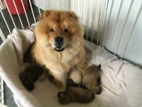 Chow chow puppy's