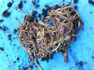 Red Wiggler worms. Compost all year long with Vermicomposting!