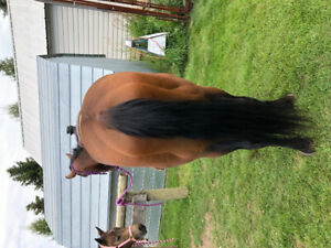 4year old registered bay gelding