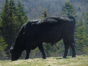 Registered Angus Bull