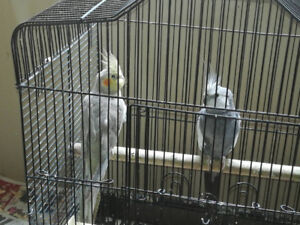 Molly and Clyde cockatiel need new homes