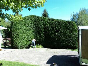 Service d'arbres: Pour tous vos travaux arboricoles Saguenay Saguenay-Lac-Saint-Jean image 5