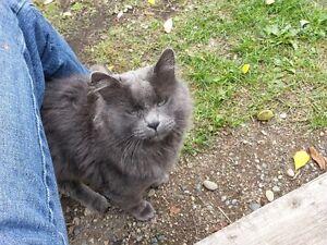 FOUND GREY CAT