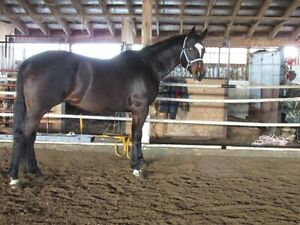 10 yr old Reg QH Mare, broke western & english