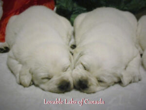 CHAMPION QUALITY  CKC REGISTERED WHITE LAB PUPPIES