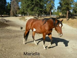 Andalusian cross mare